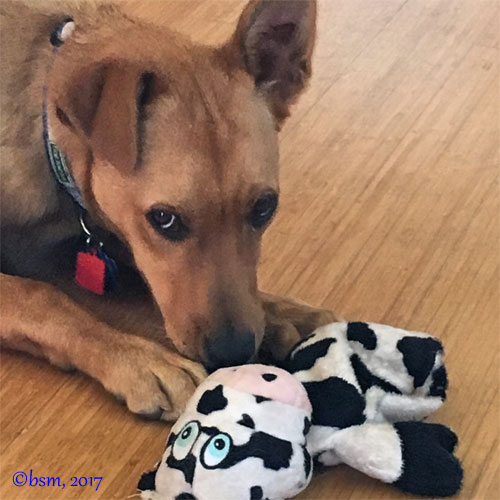 Mischevious new puppy playing with a toy