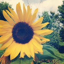 sunflowers going strong in mom's garden