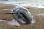 巴西海岸2017年海灘尋獲97隻鯨魚