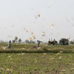 警惕中美洲蝗蟲入侵 巴拿馬開展防治技術培訓