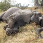 波札那330隻大象死亡原因:誤飲遭藍綠菌汙染的毒水