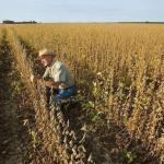 巴西馬托格羅索州出現不明大豆疾病,大豆單產或下滑