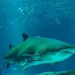 掠食者困境:巴西超三成鯊魚面臨滅絕威脅