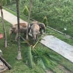 亞洲象進入邊境檢查站營區吃東西。