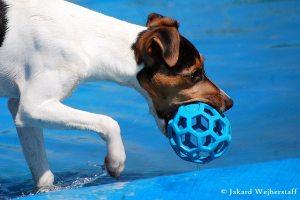 terier brazylijski sport