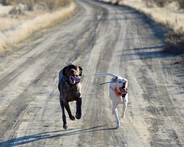 Tex and Lilly in a foot race
