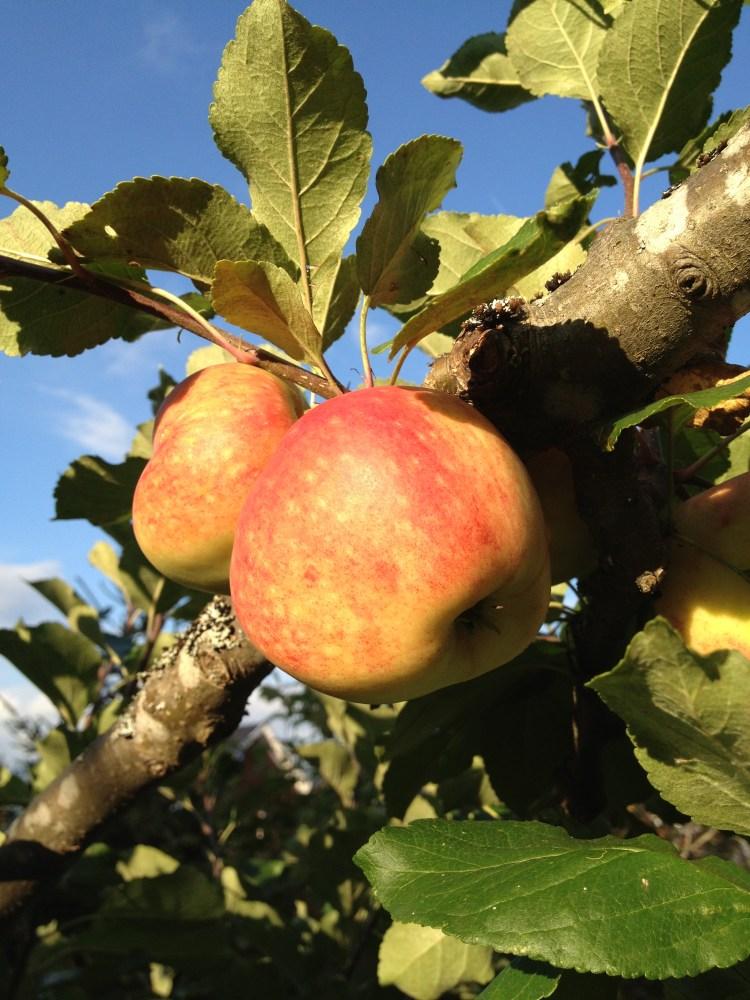 Äpplen i mängder (1/5)