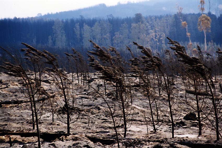Baby Pines Bent by the Wind, Canberra Bushfire 2003
