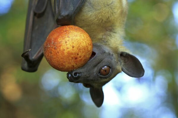 palm-fruit-bat
