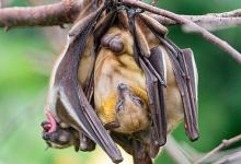 Photo of Gabon Bans Eating of Bats Due to Coronavirus Pandemic
