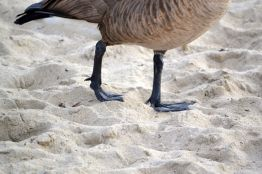Canadian Goose webbed feet
