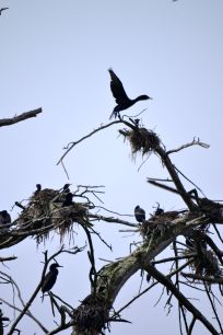 Heron Rookery Morro Bay