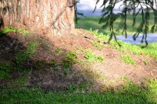 shadows on redwood