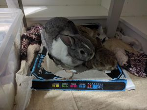 Photo of one of my bunnies grooming the other