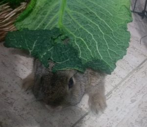 Breakfast Bun under a large cabbage leaf almost as big as he is.