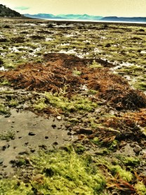 Green seaweed, Applecross