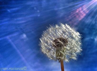 Round seedhead - Scotland