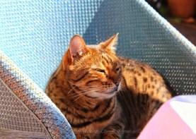 Bengal enjoying the sun