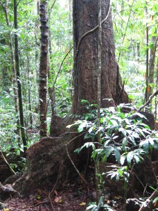 buttress root system
