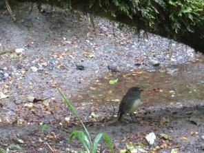 bush robin