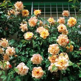 Rosa-Moonlight-na-stene