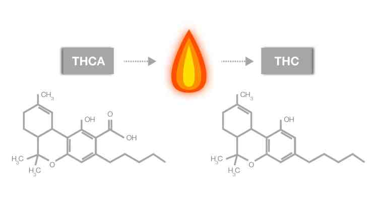 Info graphic showing theca being converted to thc
