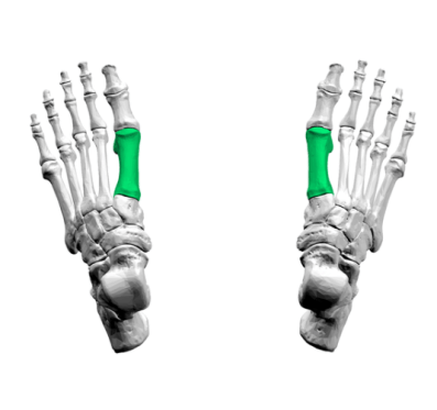 first-metatarsal-superior-view