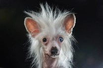 Isis, Chinese Crested (Credits: Sophie Gamand)