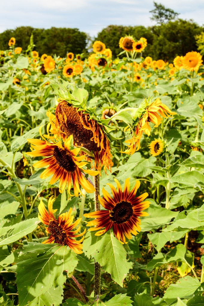 Sunflowers for Days | Breezing Through-13