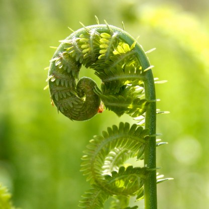 best fiddlehead