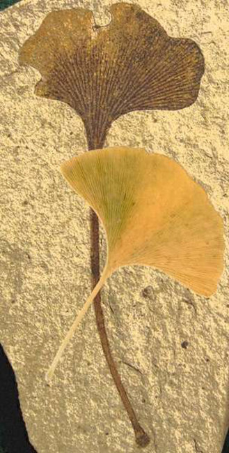 The ginkgo tree's emblematic fan-shaped leaf preserved as a 49-million-year-old fossil with modern autumn leaf overlaid. CC BY-SA via Wikimedia Commons/BBC News, used w/o permission.