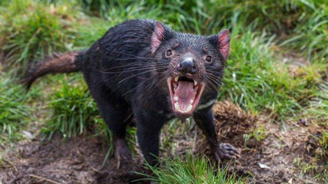 An apparently-healthy Tasmanian devil.