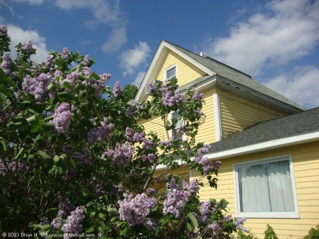 Lilacs in Sauk Centre's south side.