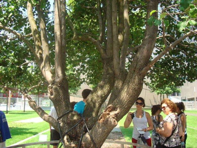PumpkinSky's photo of the Survivor Tree. (July 12, 2010)