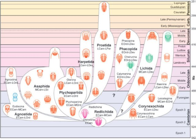 Major trilobite clades summarized. Figure 6, 'The Evolution of Trilobite Body Patterning,' Nigel C. Hughes, Annual Review of Earth and Planetary Sciences (2007)
