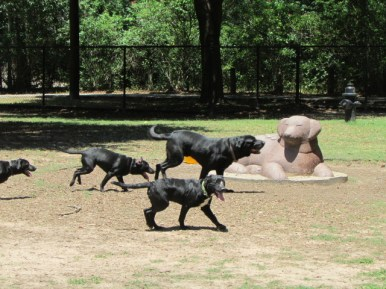 Brewster and his pups playing hard at Kasmiersky Park