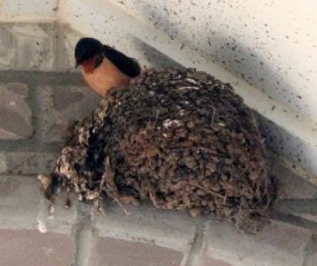 Swallow on Nest