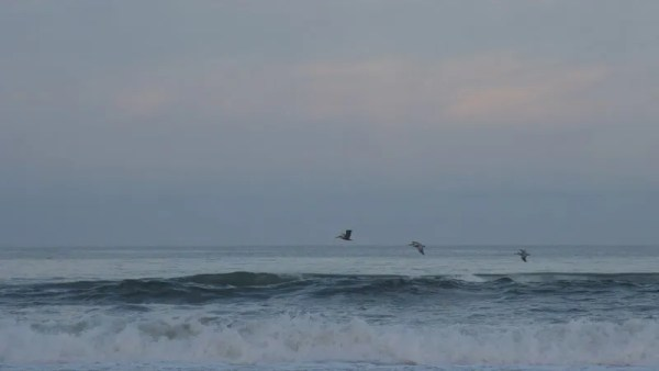 Pelicans searching for breakfast