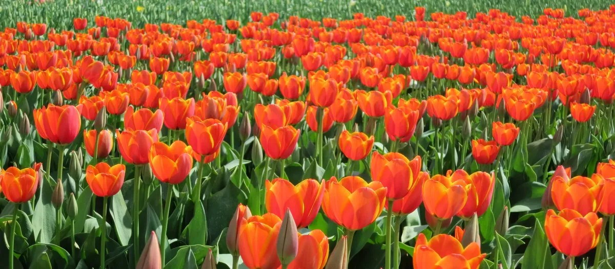Easter at the Tulip Farm