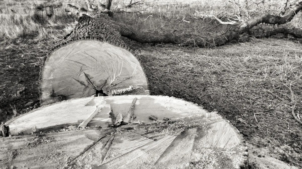 Oak Felled