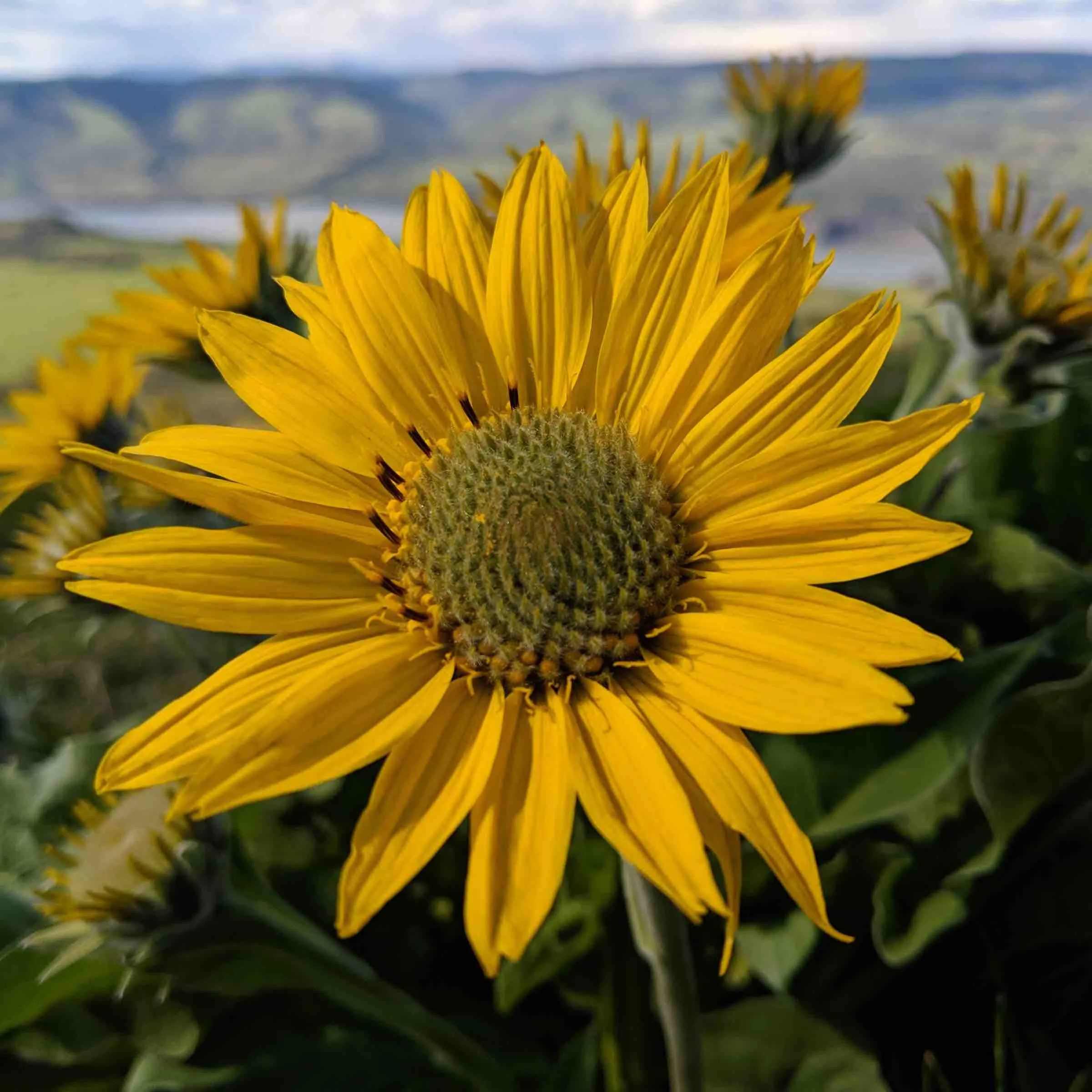 Balsamroot flower
