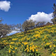 Hillside of yellow flowers