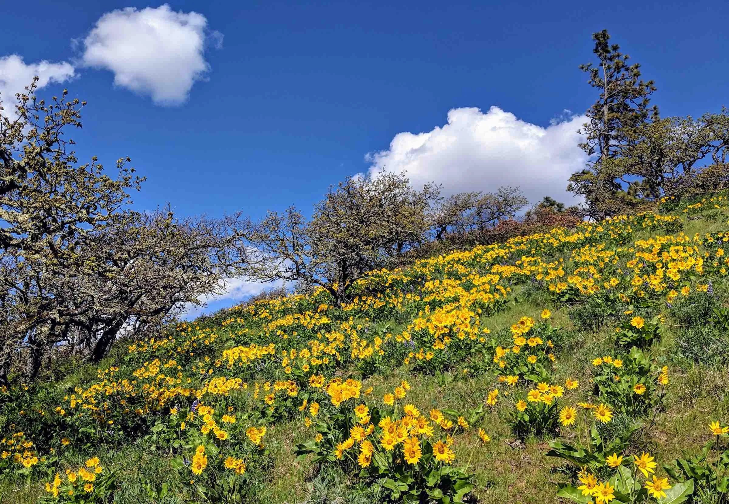 Hillside of yellow flowers