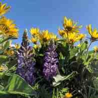 Lupine in the yellow balsamroot