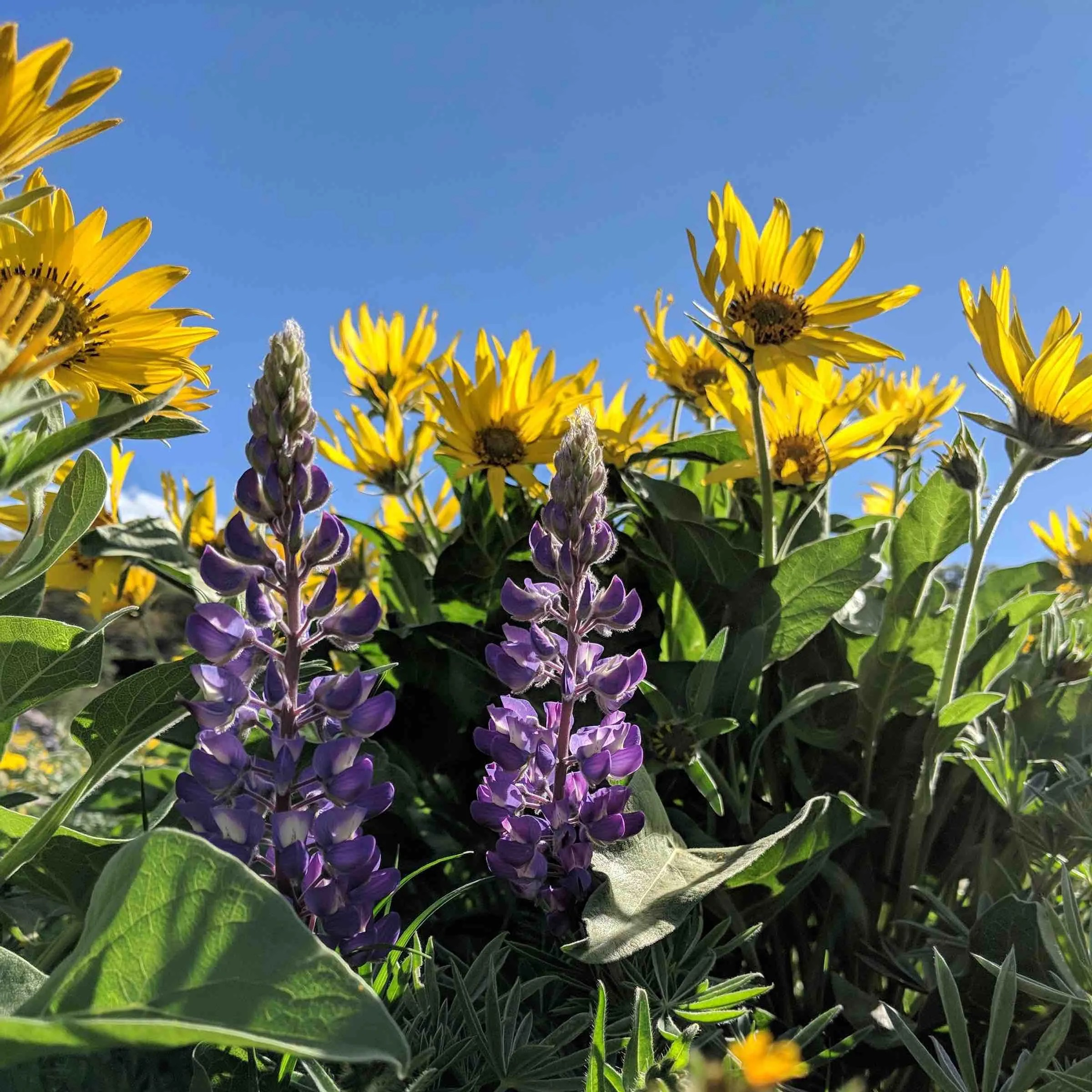 Lupine in the yellow balsamroot