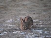 Rabbit at Chaco Canyon