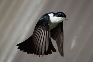 800px-Restless_flycatcher04