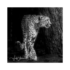 Wolf Ademeit Animal Black and White Fine Art Photography Portrait Zoo Animals Photographer Fine art photography for sale, Brett Gallery, art for home, corporate art, large format photography, Wildlife photography Jaguar