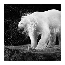 Wolf Ademeit Animal Black and White Fine Art Photography Portrait Zoo Animals Photographer Fine art photography for sale, Brett Gallery, art for home, corporate art, large format photography, Wildlife photography Bear