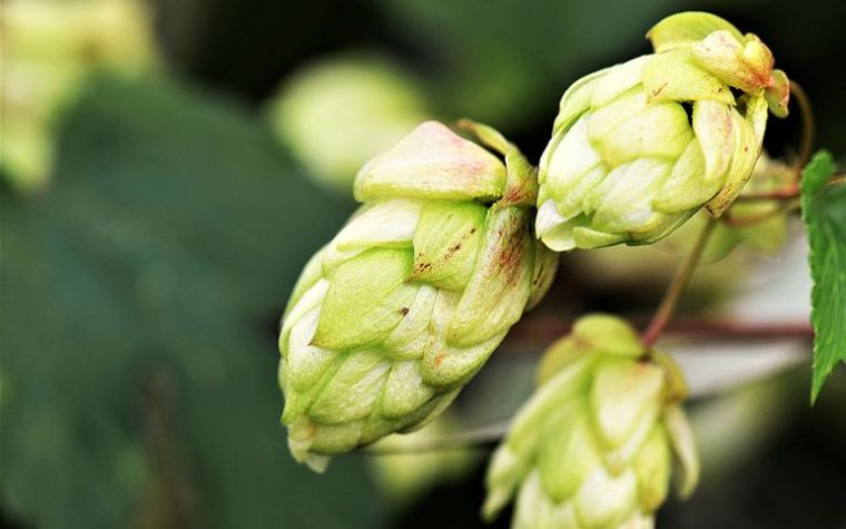 Two hop flowers on a branch.